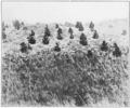 PSM V80 D235 Pine trees do better in open sands than in competition with grasses.png