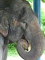 Pachyderm at Thai Elephant Conservation Center - Hang Chat - Thailand - 03 (34406512983).jpg