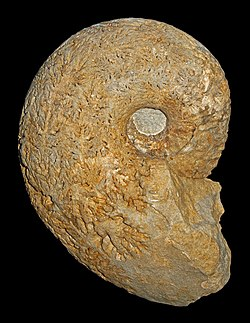 Fossil of the Late Cretaceous ammonoid Pachydiscus duelmensis