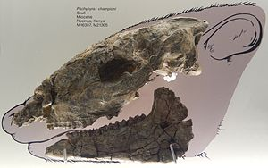 Hyrax - Pachyhyrax championi, a large fossil hyrax from the Miocene of Rusinga, Kenya (Natural History Museum collection)