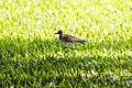 Pacific golden-plover (30538345231).jpg