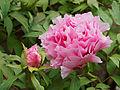 Paeonia suffruticosa Shimane Seidai JdP 2013-04-28.jpg
