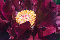Paeonia suffruticosa red070503B.jpg