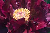 Paeonia suffruticosa red070503B.jpg