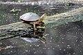 Painted Turtle (17709123678).jpg