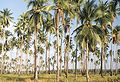 Palawan - Palm Forest.jpg