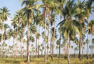 Palawan - Palawan palm forest.