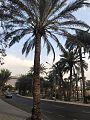 Palm Trees -Aqaba.jpg
