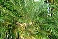 Palma robelina (Phoenix roebelenii) (14559287676).jpg