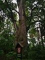Památné stromoví Bransoudov 03.jpg