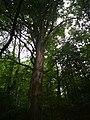 Památné stromoví Bransoudov 09.jpg