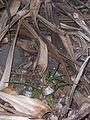 Pandanus heterocarpus 09 (seedlings).jpg