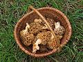 Panier de morilles (Morchella esculenta).jpg