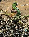Papagaio sobre cachos de açaí.jpg
