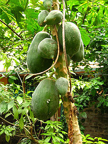 番木瓜 (Carica papaya)