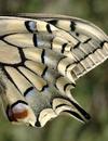 PapilioMachaon détail O3.png