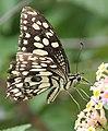 Papilio demoleus 02.jpg