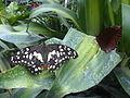 Papilio demoleus 2.jpg