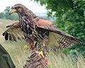 Parabuteo unicinctus falconry.jpg
