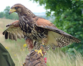 Harris's hawk - Juvenile in a falconry demonstration
