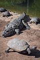 Parque Zoológico de São Paulo - Sao Paulo Zoo - Jacaré de papo amarelo e Tartaruga da Amazônia - Broad-snouted caiman and Giant South American turtle (11539810924).jpg