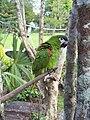 Parrot-Canaima-Venezuela04.JPG