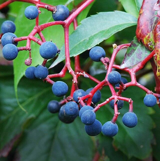 feuilles et fruits de la vigne rouge