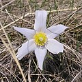 Pasque Flower top.jpg