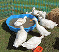 Patos siameses.jpg