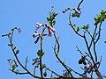 Paulownia tomentosa JPG1T.jpg