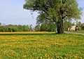 Pavasaris, Pienenes.Spring, Dandelion - panoramio.jpg