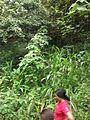 Paysage pied du Mont Cameroun.JPG