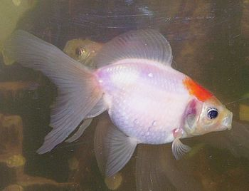 English: A Pearlscale Goldfish. Category:Goldf...