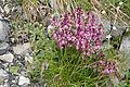 Pedicularis chamissonis var. japonica 19.jpg