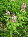 Pedicularis chamissonis var. japonica 21.JPG