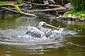 Pelecanus thagus (Peruvian Pelican - Chile-Pelikan) - Weltvogelpark Walsrode 2012-01.jpg