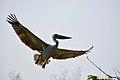 Pelican Ranganathittu.jpg