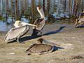 Pelican family (26035777066).jpg