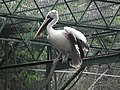 Pelican from Bannerghatta National Park 8578.JPG