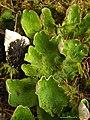 Peltigera aphthosa 2 3 (4037098295).jpg