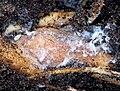 Pemphigus bursarius, Wollige slawortelluis (1).jpg