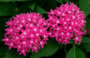 Pentas - Image: Pentas 'Butterfly Deep Rose'