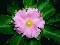 Pereskia grandifolia 04764.JPG