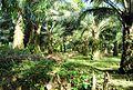 Perkebunan kelapa sawit milik rakyat (59).JPG
