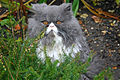 Persian Cat 5 UK.jpg