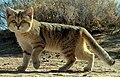 Persian sand cat (DYK crop).jpg