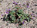 Phacelia calthifolia 3.jpg