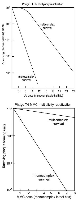 Escherichia virus T4 - Survival curves for virus T4 with DNA damaged by UV (top) or MMC (bottom) after single virus T4 infecting host cells (monocomplexes) or two or more virus T4 simultaneously infecting host cells (multicomplexes).