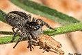 Philaeus chrysops (Saltique sanguinolent) femelle prédatant un criquet juvénile.jpg