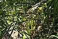 Phoenix roebelenii 38zz.jpg